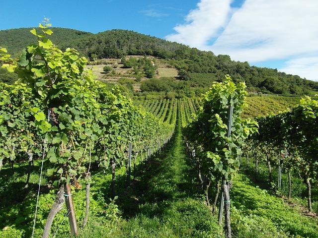 Cépages vin blanc
