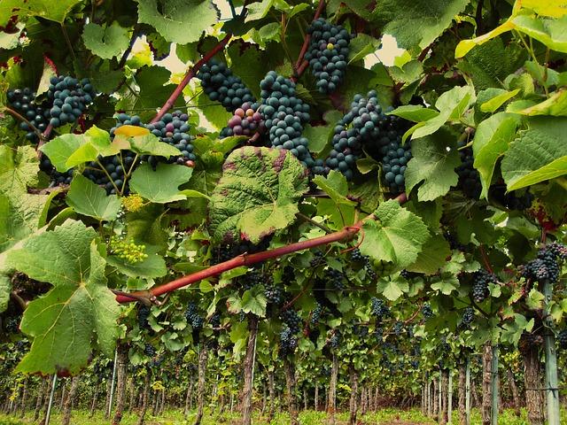 Pinot noir Auxerrois