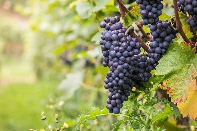 Cépages vin rouge