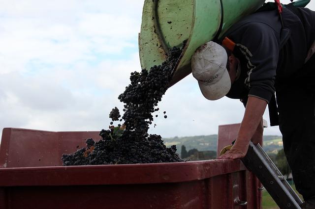 Récolte au château - Vieilles vignes Beaujolais Gamay