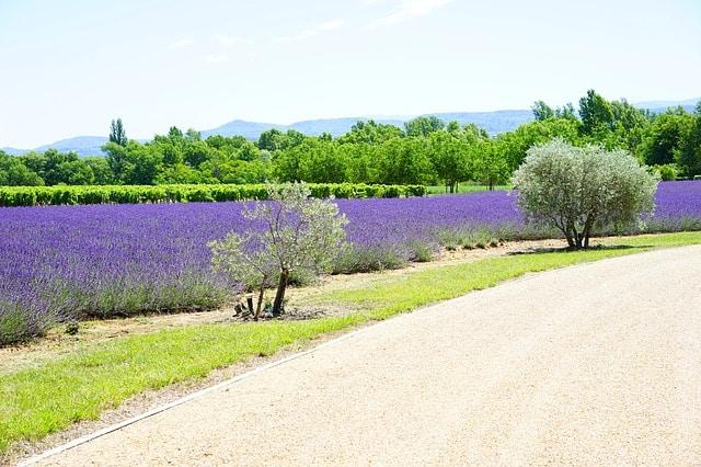 Route des vins en Provence : entre champs de lavande, vignobles et oliviers