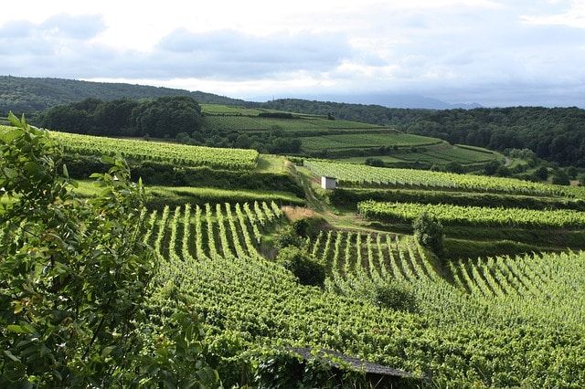 Alsace : les cépages, appellations et caractéristiques des vins de la région