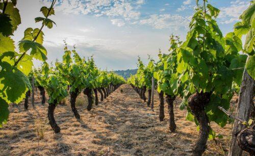 Oenotourisme dans le Beaujolais : la route des vins des crus